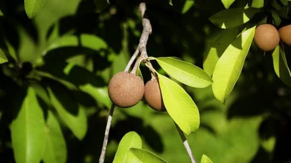 Thumbnail for Sapodilla Fruit on Tree