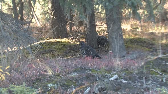 Thumbnail for Spruce Grouse Adult Pair in Autumn in Denali National Park Alaska