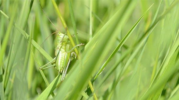 Thumbnail for Green Grasshopper on Blade of Grass