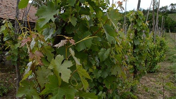 Thumbnail for Traditioneller Anbau von Weintrauben