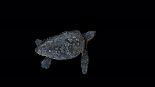 4K Turtle - Caretta Caretta Back View