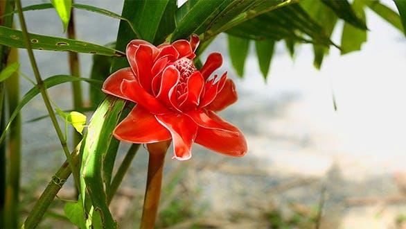Thumbnail for Tropical Ginger Flower
