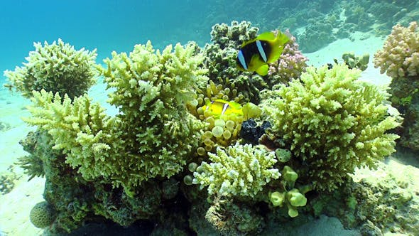 Thumbnail for Clown Anemonefish on Coral Reef