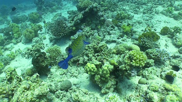 Thumbnail for Bluetail Trunkfish Feeds on the Coral Reef