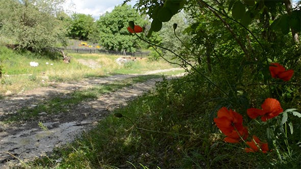 Thumbnail for Poppies On Side of Country Road