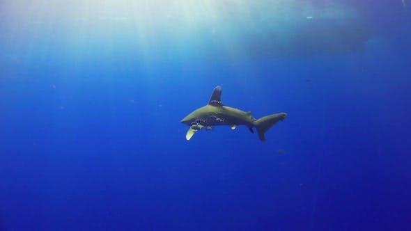 Thumbnail for Dangerous Grey Reef Haie schwimmen in der Nähe von Tauchern