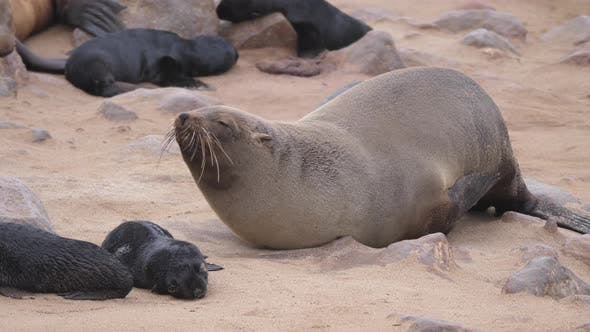 Thumbnail for Sea lion with itchy fur at Cape Cross Seal Reserve