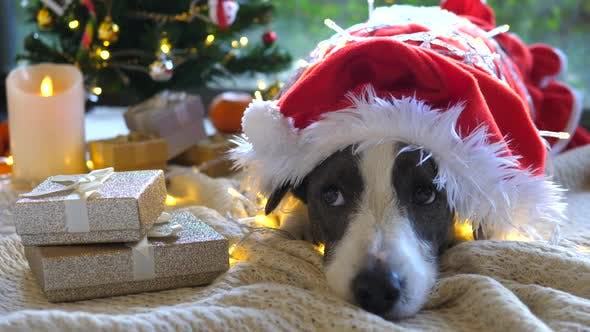 Thumbnail for Christmas Celebrations, Santa Dog Under Tree With Gifts