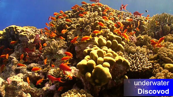 Thumbnail for Shoal of Red Fish on Coral Reef 9