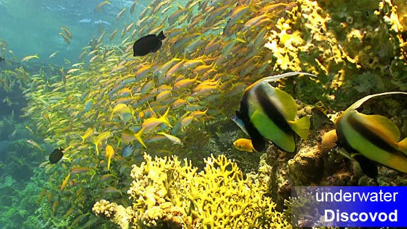 Thumbnail for Shoal of Yellow Fish on Coral Reef 5