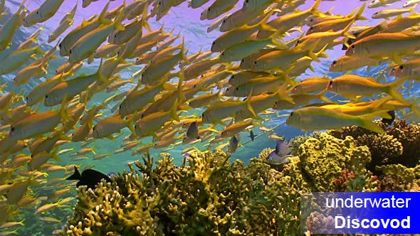 Thumbnail for Shoal of Yellow Fish on Coral Reef 16