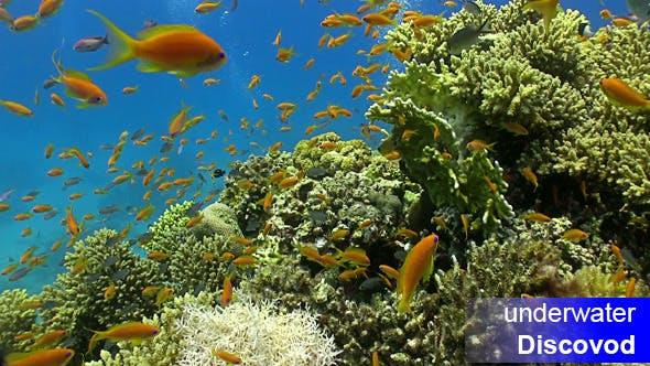 Thumbnail for Schwarm von roten Fischen auf Korallenriff 4