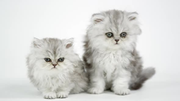 Thumbnail for Two cute fluffy kittens against a white screen