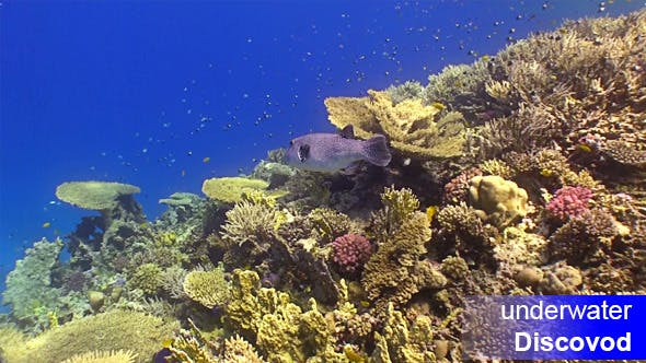 Kugelfisch am Korallenriff
