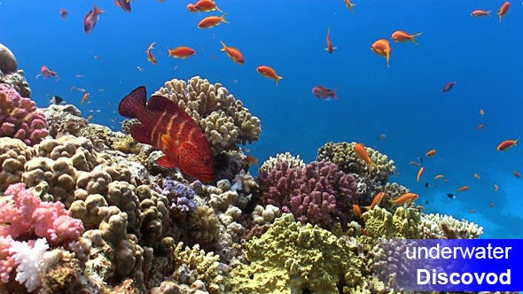 Thumbnail for Shoal of Red Fish on Coral Reef