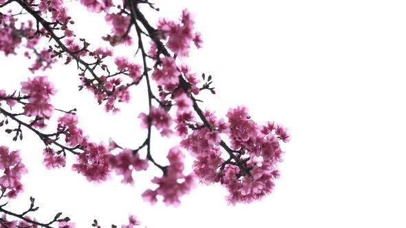 Thumbnail for Kirschblüte auf weißem Hintergrund