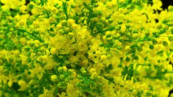 Thumbnail for Spring Yellow Flowers Bloom on the Bush