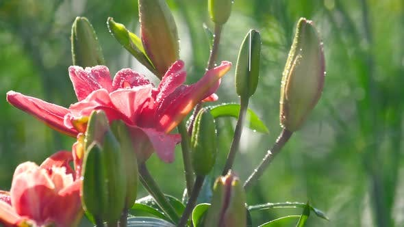 Cover Image for Pink Lily Flower Under Rain