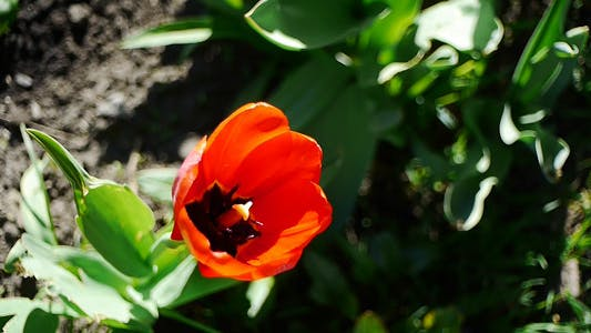 Thumbnail for Wind Shakes Tulips 8