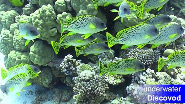 Thumbnail for Schwarm des Gelben Fisches am Korallenriff 20