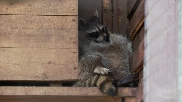 Thumbnail for Pair of Racoons Procyon Lotor Licking Each Other. Funny Animals in Wooden House.
