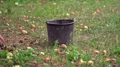 Apples picking in basket. Apples on the grass under apple tree