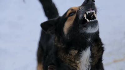 Angry dog barking at an angry angry dog outdoors. The dog looks aggressive, dangerous.