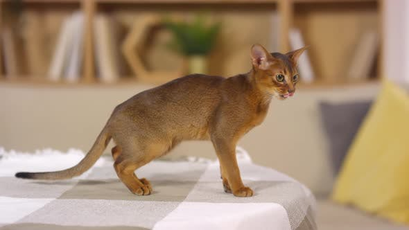 Thumbnail for Beautiful Abyssinian Cat Walking on Bedspread at Home
