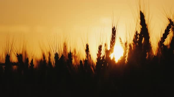 Thumbnail for Silhouette of Ripe Wheat Ears Against the Orange Sunset Sky