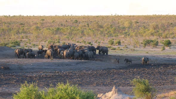 Thumbnail for A large herd of African Bush elephants at Khaudum National Park