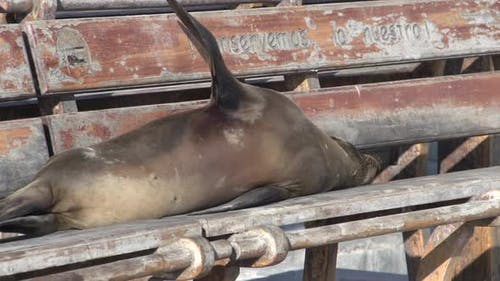 Seal sleeping on a bench