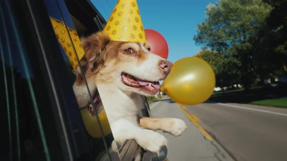 Cover Image for The Dog in a Celebratory Cap with Balloons Goes To the Party. Funny Videos with Animals.