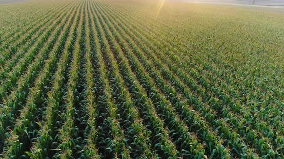 Thumbnail for Aerial View of Growing Corn on Agriculture Field