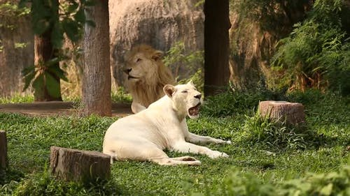 Male and Female white Lions lying down