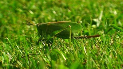 Green Locust in Grass