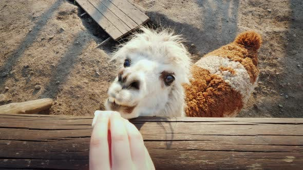 Thumbnail for The Funny Alpaca Looks Out of the Fence, Waiting for a Meal