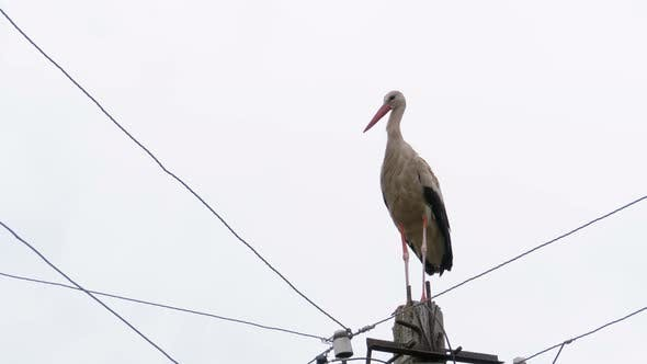 Thumbnail for Alone Stork Stands on a Pillar of High Voltage Power Lines on a Sky Background.