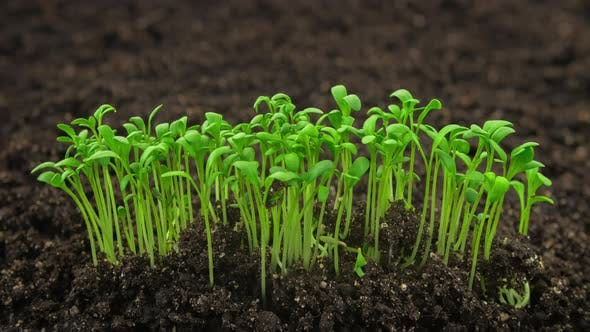 Cover Image for Growing Plants Sprouts Germination Newborn Cress Salad Plant in Greenhouse Agriculture in Rapid