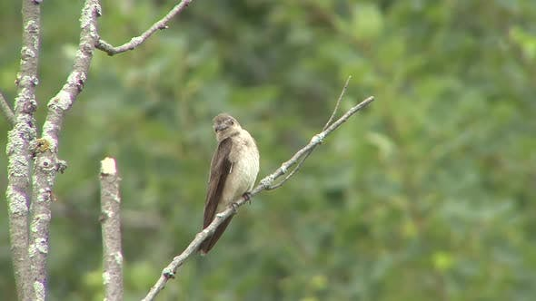 Rough-winged Swallow Immature Lone in Spring in Wisconsin