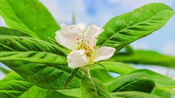 Thumbnail for Medlar (Mespilus) Blossoming 4K
