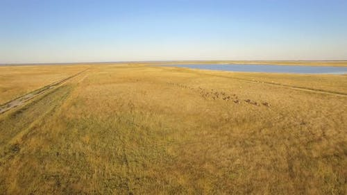 Aerial drone view of a herd of wildebeest wild animals in a safari in Africa plains.
