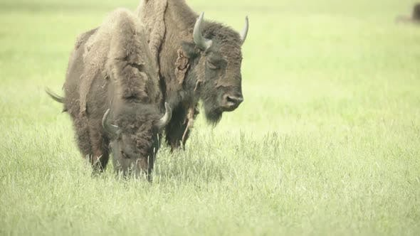 Thumbnail for Nature: Bison in a Field on Pasture. Slow Motion