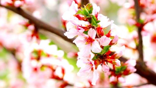Thumbnail for Cherry Flowers 10