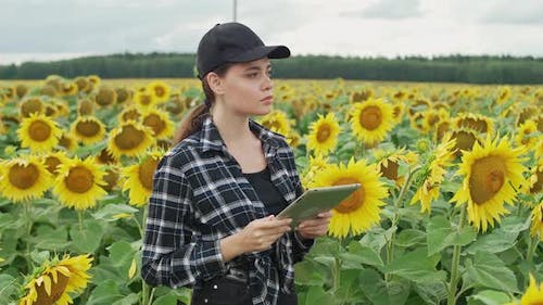 Female Farmer Stands in Field of Sunflowers and Works on a Screen Tablet Checks the Harvest