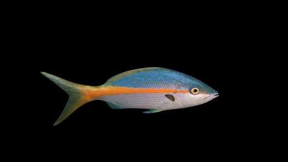 Thumbnail for Snapper Fish