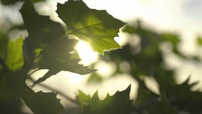 Sun Light Shining Through Leaves