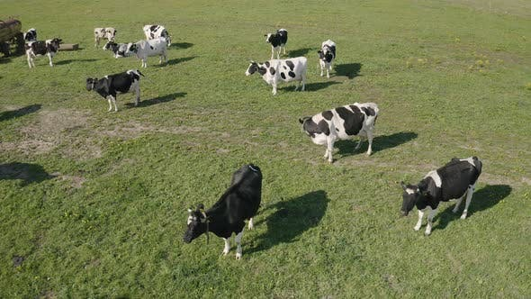 Thumbnail for Crowd of Cattle in the Pasture