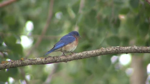 Eastern Bluebird Male Adult Lone Perched in Summer in Wisconsin