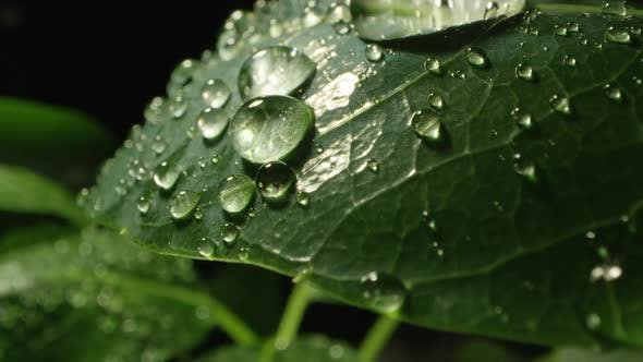 Thumbnail for Macro of plant leaf covered in dew drops as they roll off