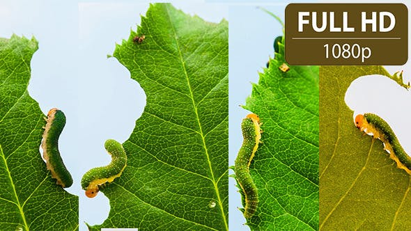 Thumbnail for Caterpillars Feeding on a Leaf (4 Pack)